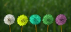 Dandelion heads in 5 different coulour, white, blue, green, purple